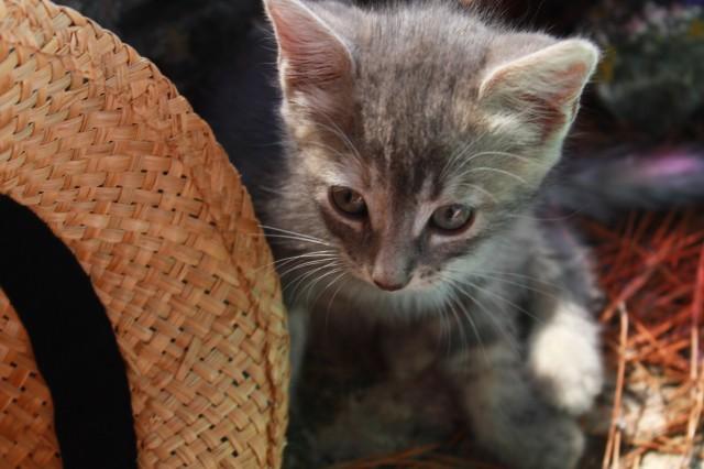 gatto-grigio