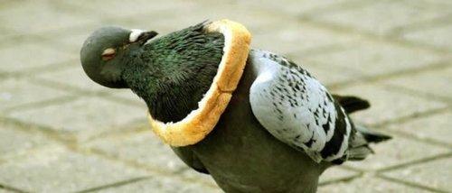 colomba con pane sul dorso