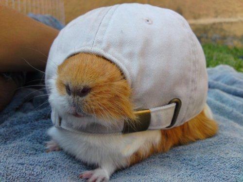 criceto nel cappello