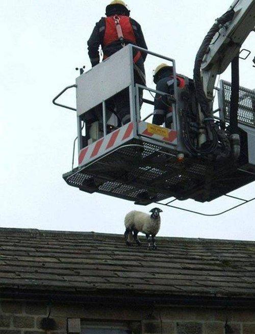 pecora sul tetto