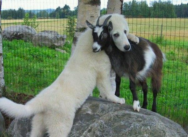 abbraccio-cane-capra