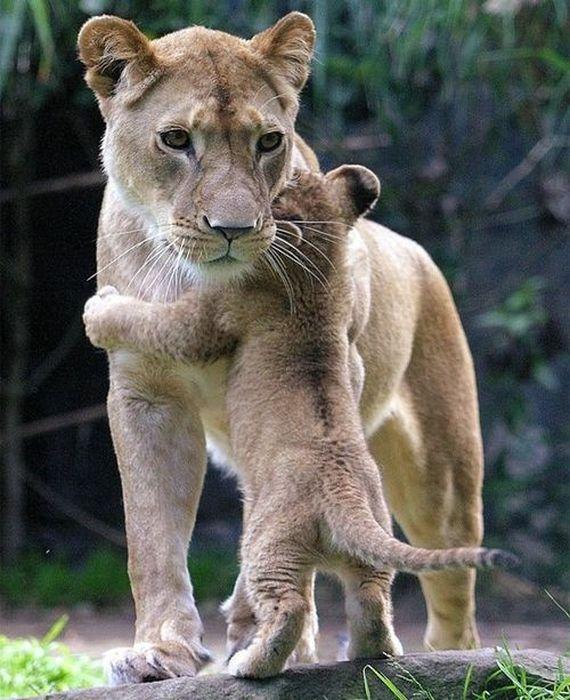 abbraccio leoni