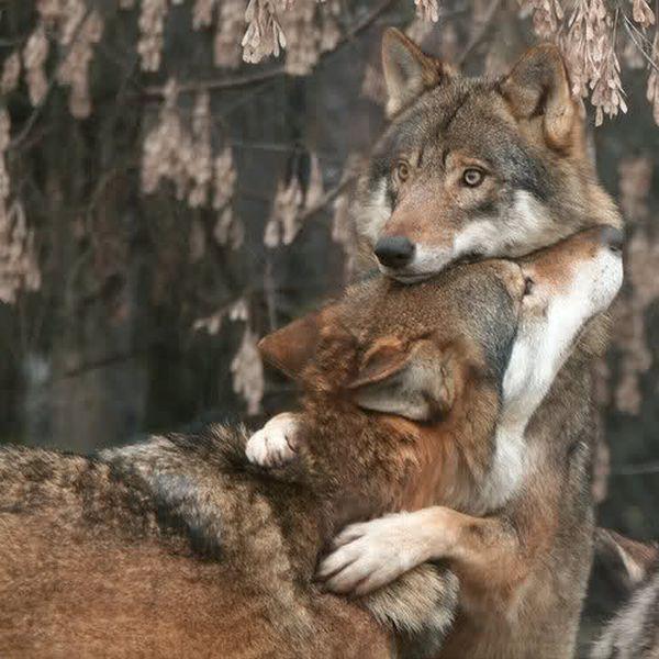 abbraccio-lupi